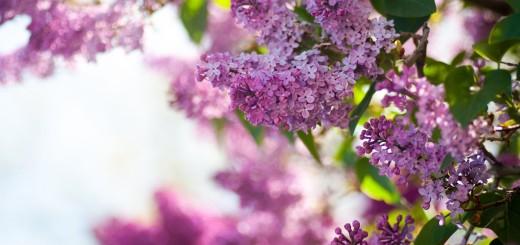 lilac-twigs-248962